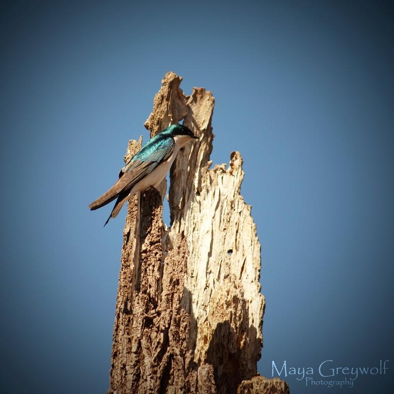 Tree Swallow 7 Final