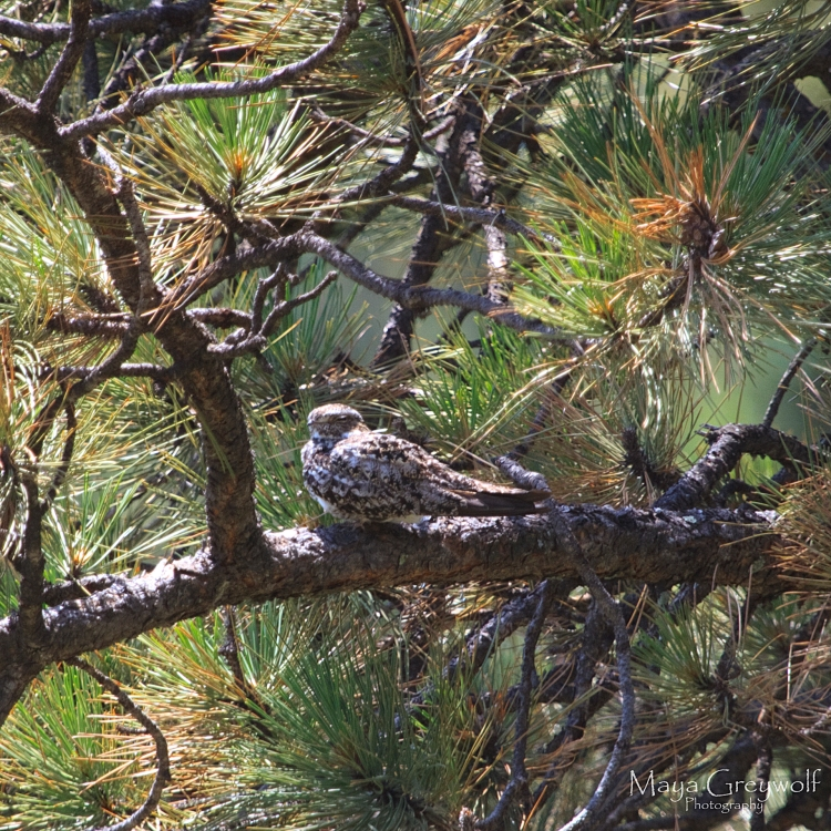 Roosting Common Nighthawk