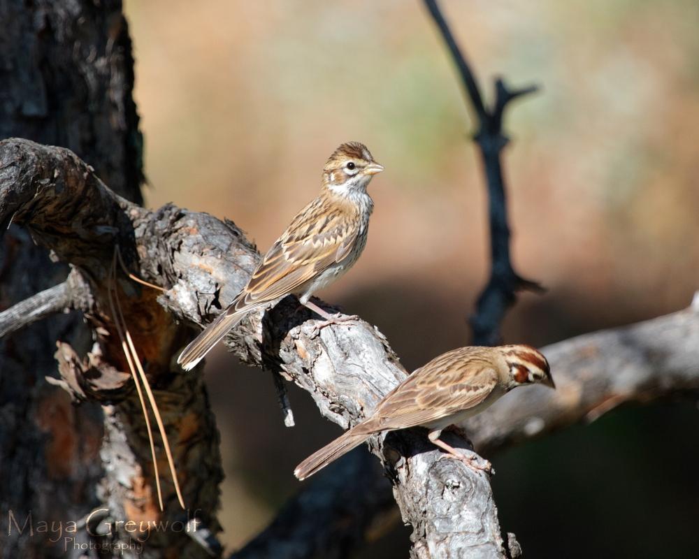 Lark Sparrow Juvenile I July 2013 Final