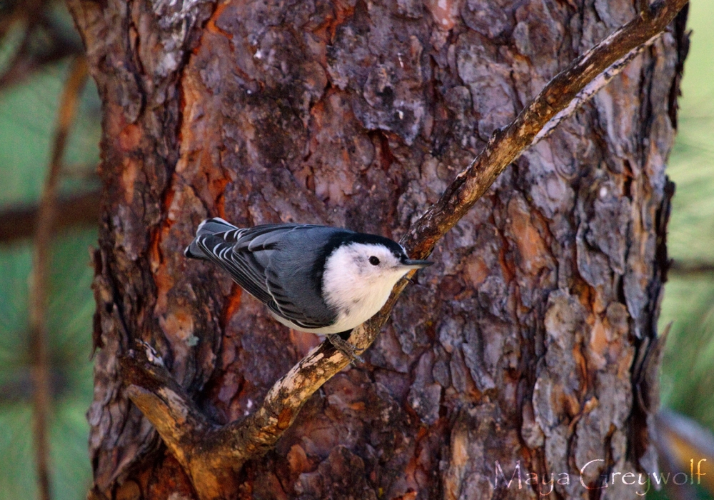 White-breasted Nuthatch I Sep 2013 Final
