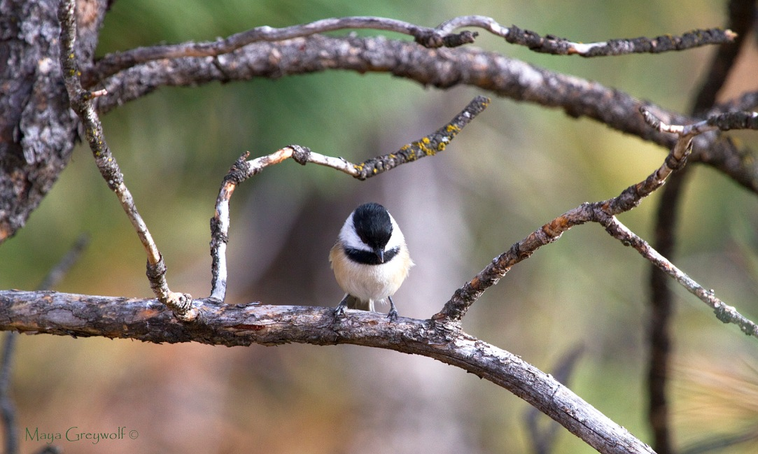 Black-capped Chickadee Oct 13 (2) Final