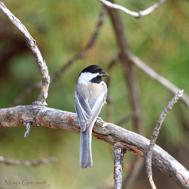 Black-capped Chickadee Oct 13 Final