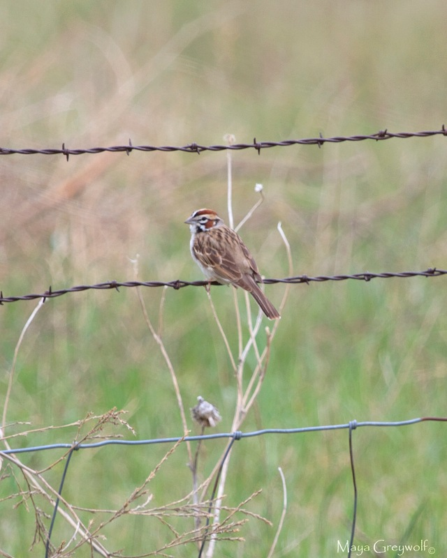 Lark Sparrow May 14 (1) Final