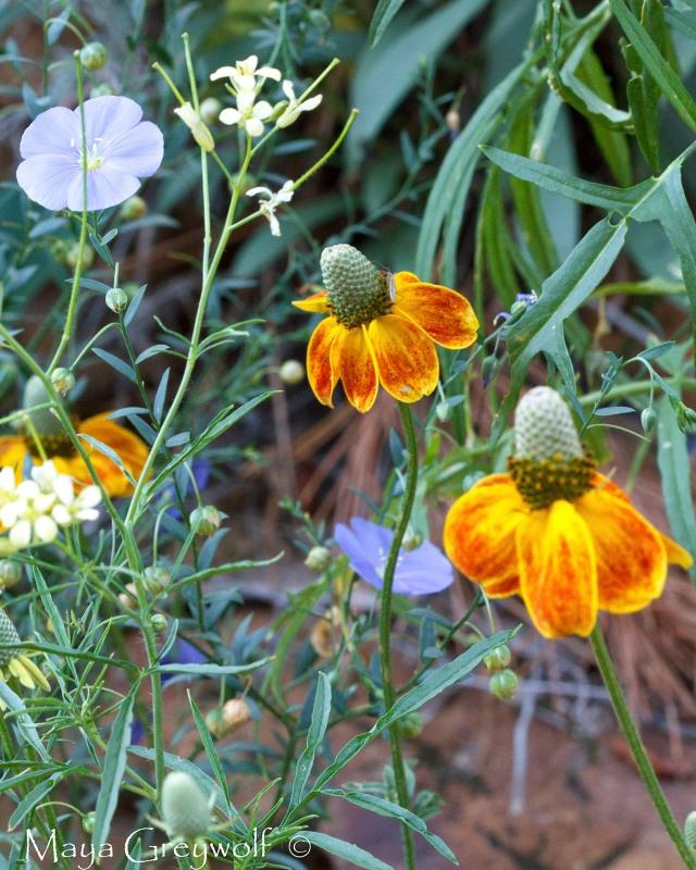 Black Hills Flowers